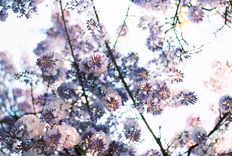 wisteria-is-love-by-Sonya-Khegay-01